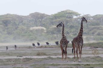 Giraffen mit Madenhackern