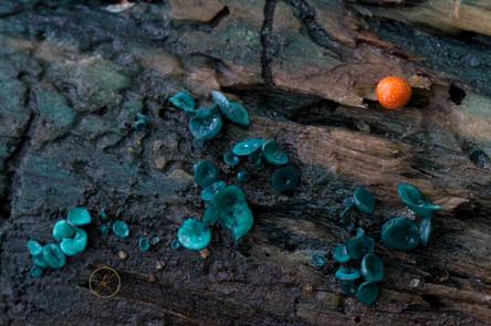 Pilze auf Totholz
