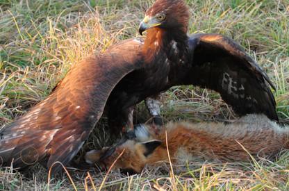 Steinadler am gebeizten Rotfuchs