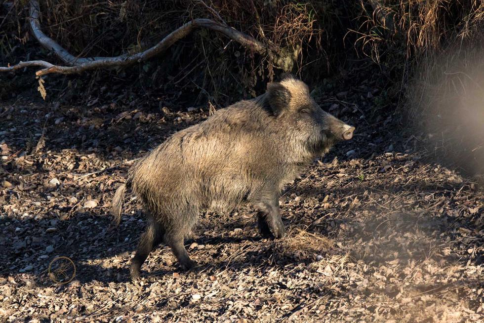 Wildschweinbache