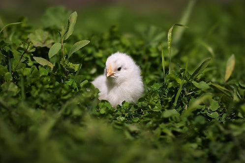 Chicks (0-8 weeks)