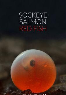 Sockeye SalmonRed fish .jpg