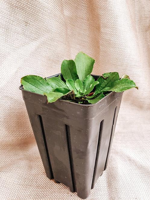 Antennaria plantaginifolia - Pussytoes
