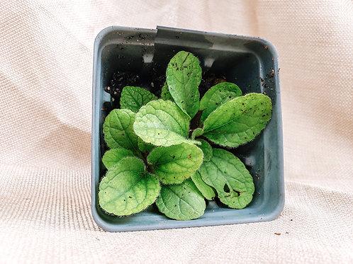 Chrysogonum virginianum - Green and Gold