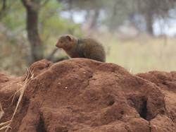 Dwarf mongoose, Tarangire, Tanzania