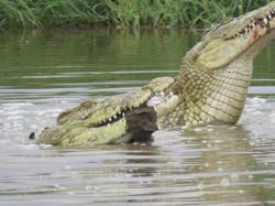 Crocodiles, Serengeti, Tanzania