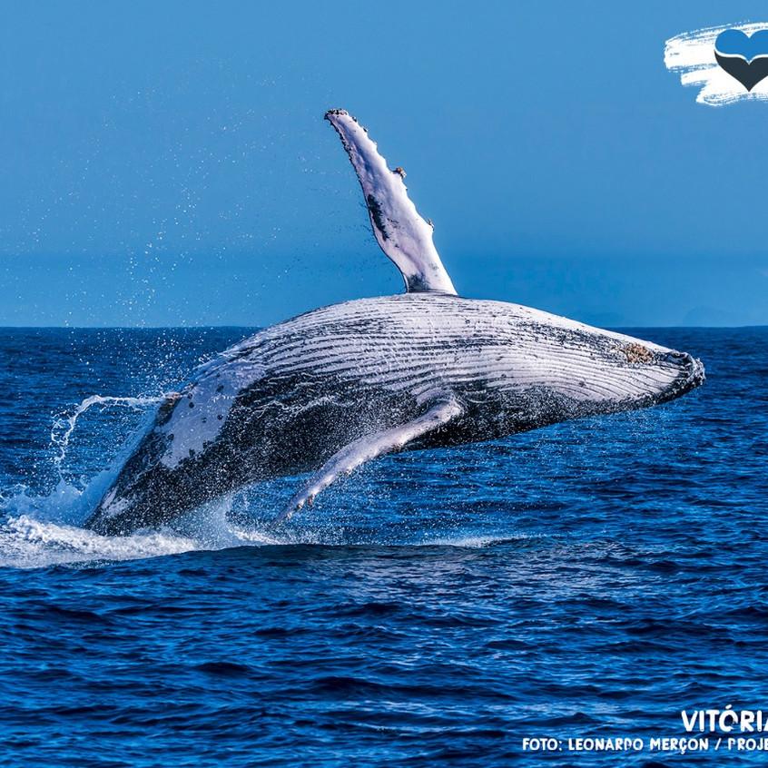 Baleia-jubarte saltando em mar aberto no