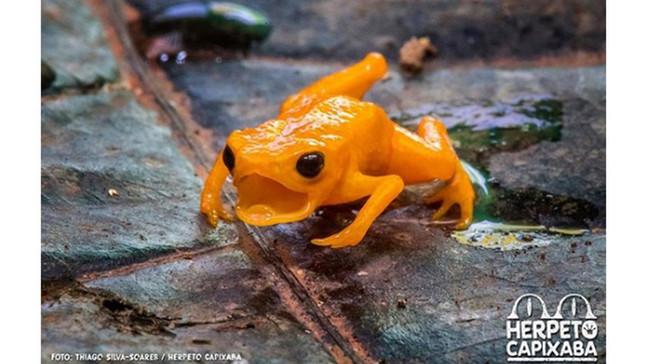 MINI DOCUMENTÁRIO Herpeto Capixaba: A Joia da Mata Atlântica Capixaba: Sapinho pingo-de-ouro