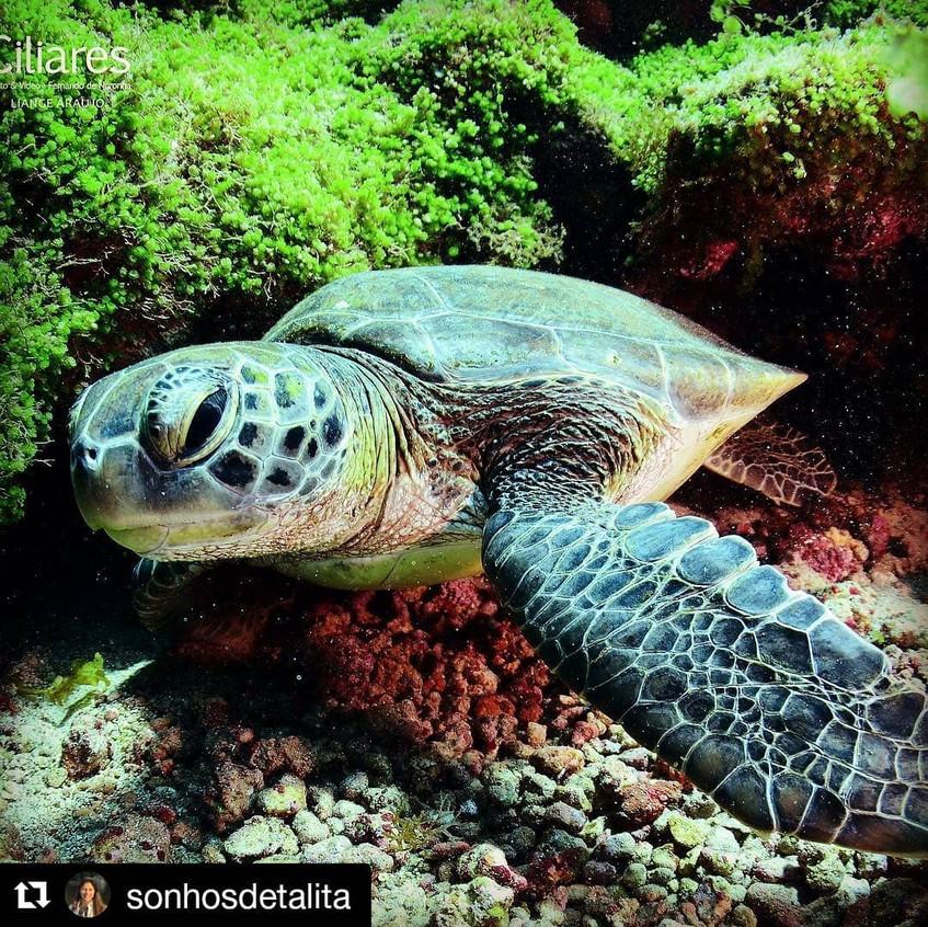 Tartaruga-verde no fundo do mar em Vitor