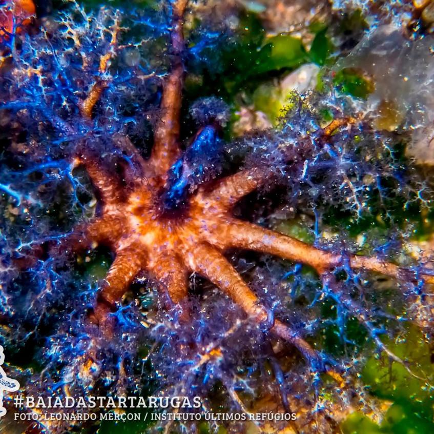 Pepino-do-mar bentonico se alimentando -