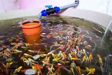 Various fish species in aquaponics syste