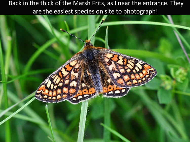 Marsh_Frit3_Cotley_Hill_31May13rs.jpg