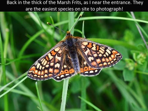Marsh_Frit3_Cotley_Hill_31May13rs.jpg