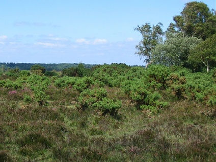 Beaulieu_heath2rs.jpg