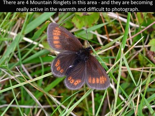 Mountain_Ringlet11_Fleetwith_27Jun11rs (