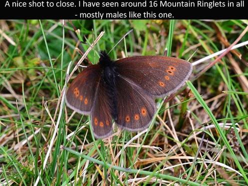 Mountain_Ringlet8_Fleetwith_27Jun11rs (2