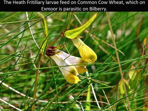 Cow_Wheat_Bin_Coombe_3Jun11rs (2).jpg