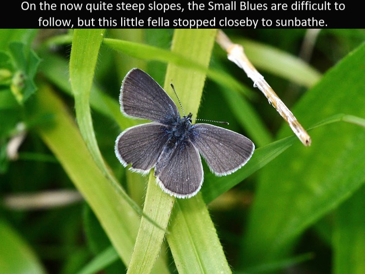 SmallBlue_Cotley_Hill_31May13rs.jpg