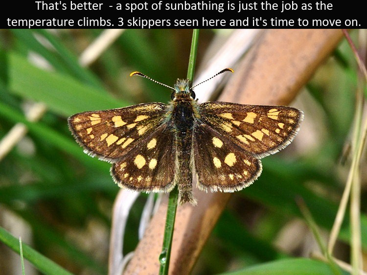 Chequered_Skipper4_Glen_Loy_1June12rs (2
