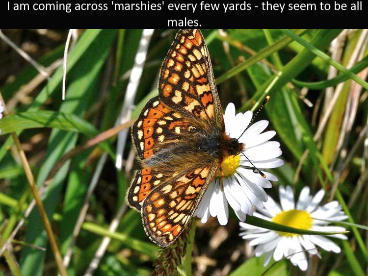 Marsh_Frit_Cotley_Hill_31May13rs.jpg