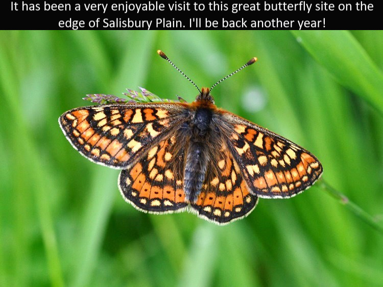 Marsh_Frit7_Cotley_Hill_31May13rs.jpg