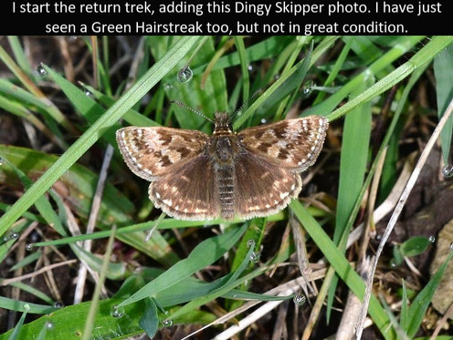 Dingy_Skipper_Cotley_Hill_31May13rs.jpg