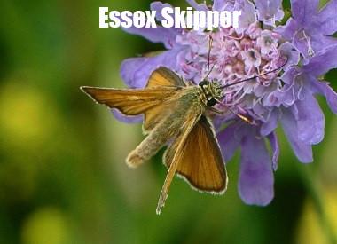 Essex_SkipperN2_Noar_Hill_18Jul08spy.jpg