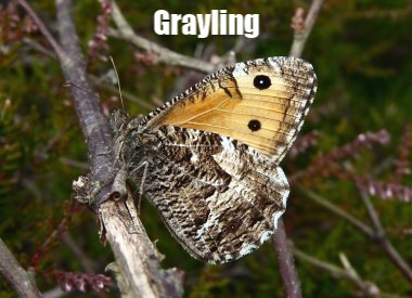 Grayling10HL_BrowndownN_23Jul10spy.jpg
