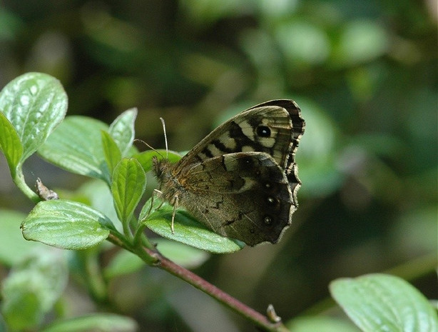 Speckled Wood.