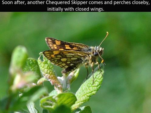 Chequered_Skipper4_Glasdrum_1June12rs (2