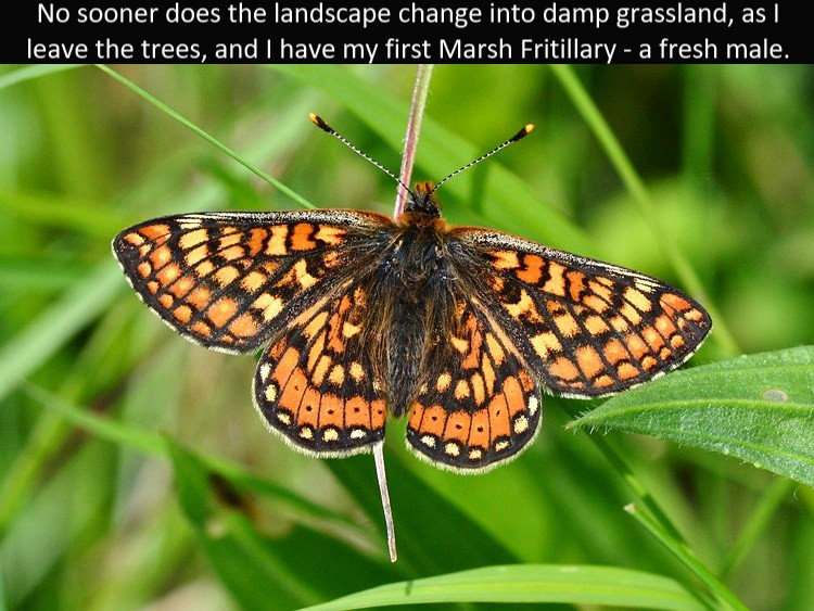 Marsh_Frit4_Cotley_Hill_31May13rs.jpg