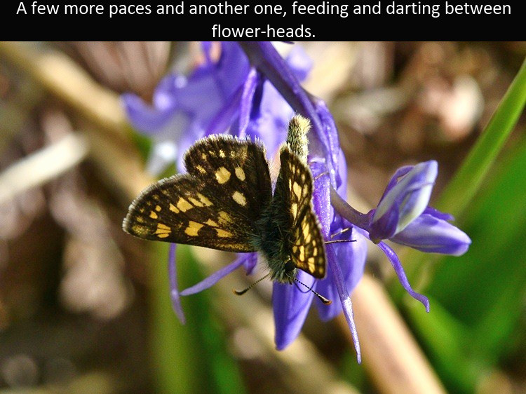 Chequered_Skipper2_Glen_Loy_1June12rs (2