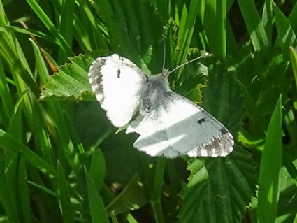 Orange Tip Blog.jpg