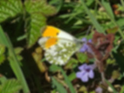 Orange Tip2 Blog.jpg