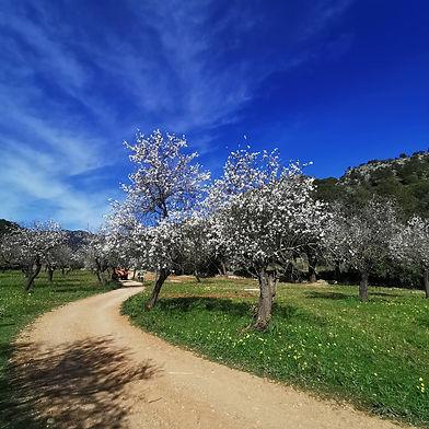 Geführte einheimische Wanderungen mit Mallorca Muntanya. Erlebe die Mandelblüte auf Mallorca mit uns.