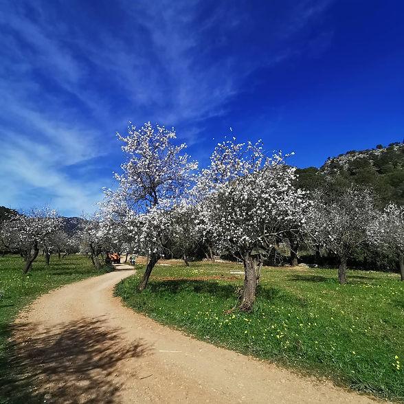 mallorca-muntanya-mandelblüte.jpg