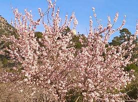 Mandelblüte pur im ländlichen Mallorca