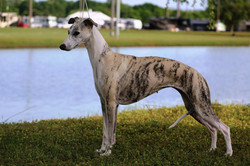 Silver GCH Harmony's Lady Luck ROM