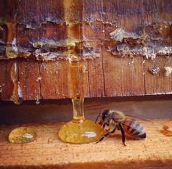 ape miele - sapore in tavola