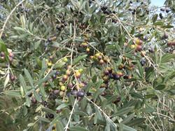 sapore in tavola - olive