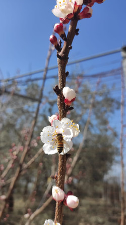 ape fiore - sapore in tavola