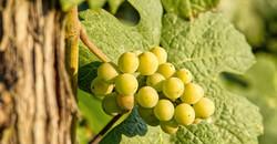 grappolo d'uva - sapore in tavola