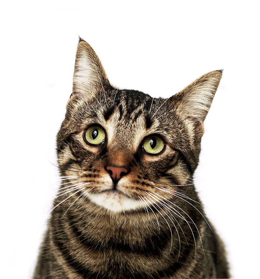 American Cat.jpg