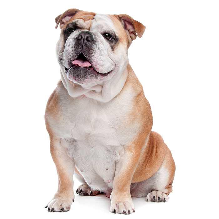 british english bulldog.jpg
