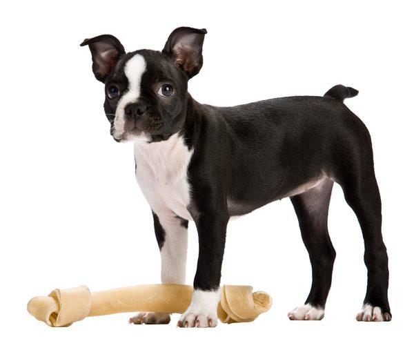 Boston Terrier Breed.jpg
