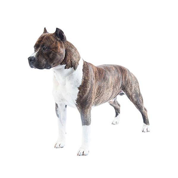American Staffordshire Terrier.jpg