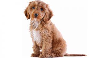cockapoo dog breed.jpg