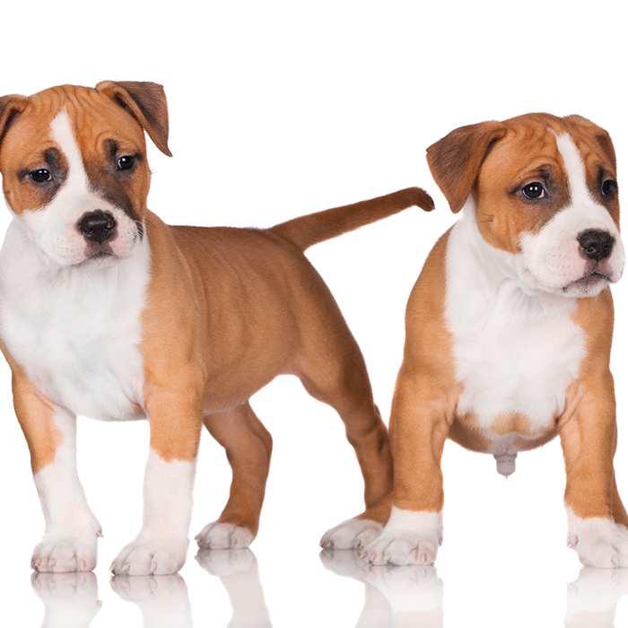 american staffy puppies.jpg
