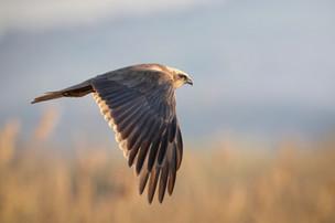Il falco di palude