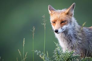La volpe perde il pelo ma non il vizio